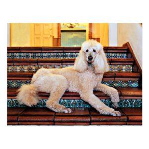 Apricot Standard Poodle - Bocelli Postcard