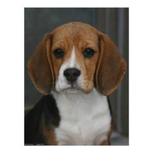 Beagle Portrait Poster