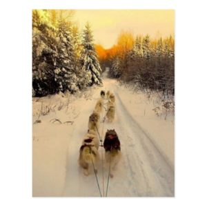 Dog sledding 2 postcard
