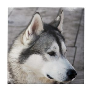Malamute Photo Tile