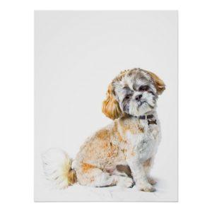 Shih Tzu Dog Poster/Print Poster
