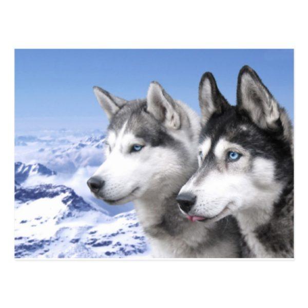 Siberian Huskies Postcard