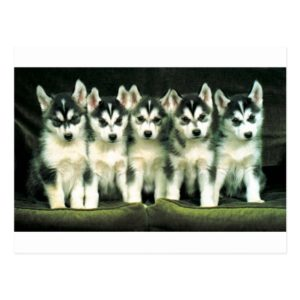 Siberian Husky Puppies Postcard